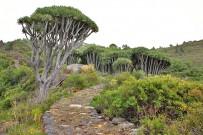 drachenbaum-buracas-drago-dracaena-draco-l-la-palma-garafia