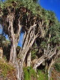 drachenbaum-drago-dracaena-draco-l-la-palma-