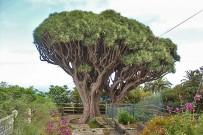 drachenbaum-drago-dracaena-draco-l-la-palma-canarias