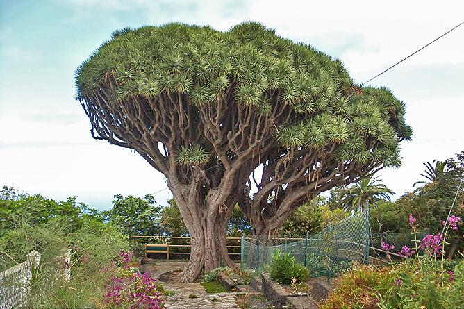 Drachenb ume la palma travel - Baum auf spanisch ...