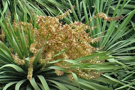 drachenbaum-maeusedorngewaechs-drago-dracaena-draco