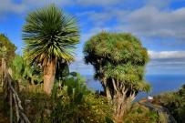 drachenbaum-maeusedorngewaechs-drago-dracaena-draco-l-la-palma-canarias