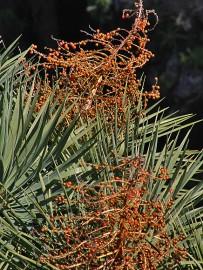 drachenbaum-maeusedorngewaechs-drago-dracaena-draco-samen-semillas