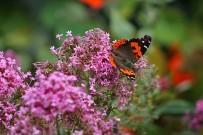 kanarischer-admiral-vanessa-vulcania-la-palma-schmetterling-mariposa