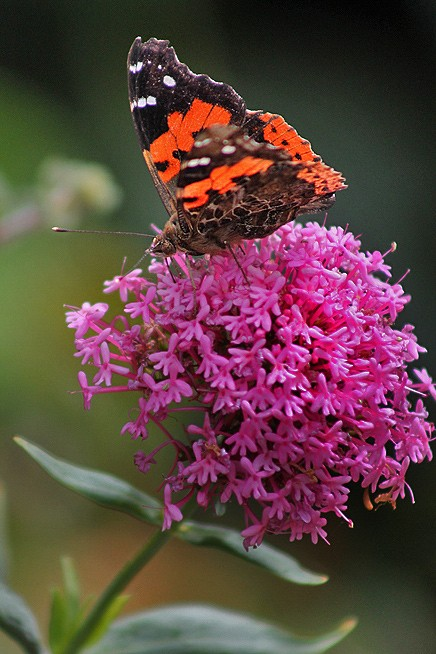 kanarischer-admiral-vanessa-vulcania-la-palma-schmetterling-mariposa-butterfly-canarias