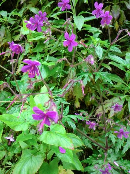 kanarischer-storchschnabel-pata-de-gallo-geranium-canariensis-reuteri-isla-bonita
