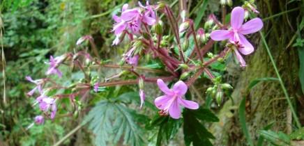 kanarischer-storchschnabel-pata-de-gallo-geranium-canariensis-reuteri-kanaren