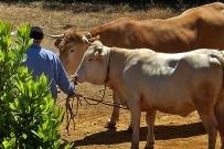 la-palma-kuh-raza-palmera-bovina-morucha-bovidae-bovinae