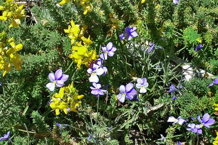 la-palma-veilchen-viola-palmensis-violeta-de-cumbre-