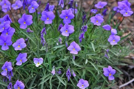 la-palma-veilchen-viola-palmensis-violeta-de-cumbre-islas-canarias
