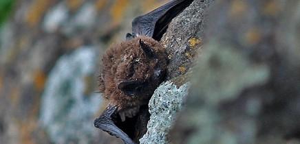 madeira-fledermaus-murcielago-pipistrellus-maderensis-canarias