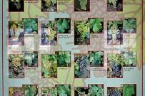 museo-del-vino-palmero-wein-museum-las-manchas-la-palma17