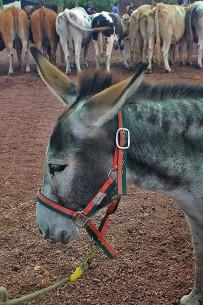san-antonio-del-monta-garafia-la-palma-burro-esel