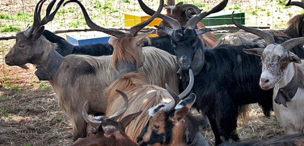 san-antonio-del-monta-garafia-la-palma-cabras-ziegen