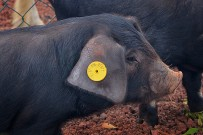 san-antonio-del-monta-garafia-la-palma-cerdo-negro-schwarzes-schwein