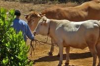 san-antonio-del-monta-garafia-la-palma-vaca-kuh