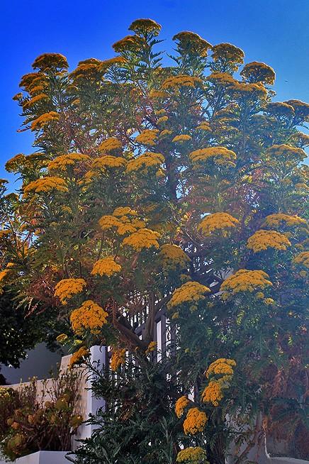 san-juanera-faro-gonospermum-canariensis-busch