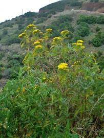 san-juanera-faro-gonospermum-canariensis-endemisch