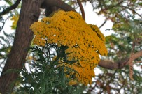 san-juanera-faro-gonospermum-canariensis-juni