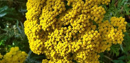san-juanera-faro-palmero-gonospermum-canariensis