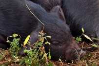 schwarzes-kanaren-schwein-cerdo-cochino-negro-canario-suidae-sus-s-scrofa