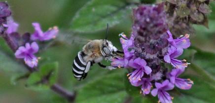 wildbiene-anthophora-quedrifasciata-abaja-amegilla-quardifasciata-b