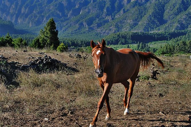 yeguada-j-j-ramos-la-palma-reiten-pferde