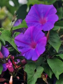 blaue-prunkwinde-campanilla-ipomoea-indica-convolvulus-windengewaechs