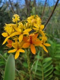 epidendrum-radicans-gelb-orchidee-orchidea
