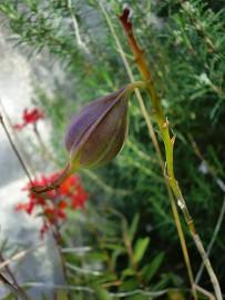 epidendrum-radicans-samen-orchidee-orchidea