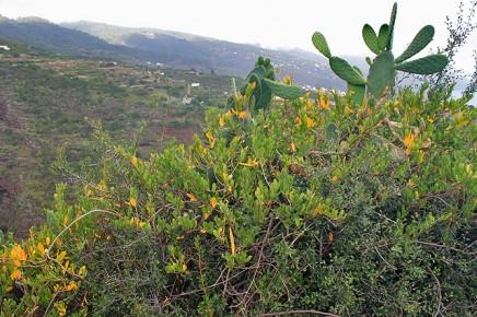 hoernerranke-glatte-baumschlinge-cornical-periploca-laevigata-habitat
