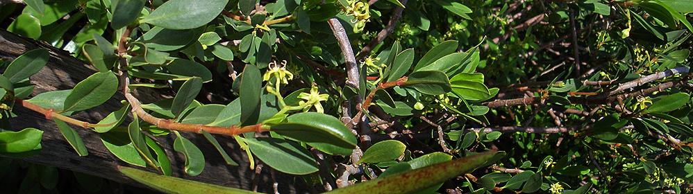 Die Glatte Baumschlinge / Hörnerranke - La Palma Travel