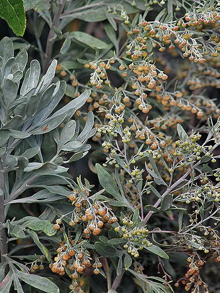 kanaren-beifuss-artemisia-thuscula-la-palma