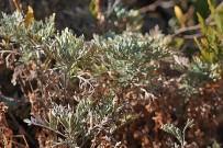 kanaren-beifuss-artemisia-thuscula-weihrauch-la-palma