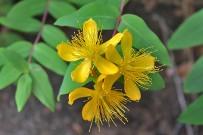 malfurada-grossblaettriges-johanniskraut-bluete-hypericum-grandifolium