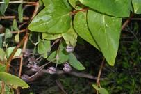 malfurada-grossblaettriges-johanniskraut-fruchtkapsel-hypericum-grandifolium