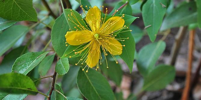 malfurada-grossblaettriges-johanniskraut-wald-hypericum-grandifolium