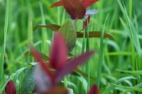 malfurada-maljurada-grossblaettriges-johanniskraut-hypericum-grandifolium
