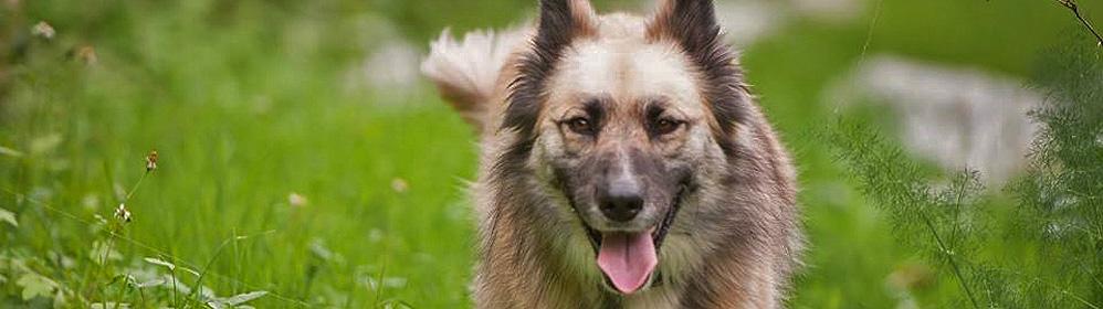 Garafianischer Hirtenhund - La Palma Travel