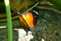 afrikanischer-monarchfalter-monarca-africana-danaus-chrysippus-la-palma