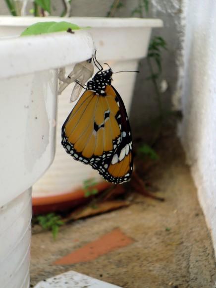 afrikanischer-monarchfalter-monarca-africana-danaus-chrysippus-la-palma-kanaren
