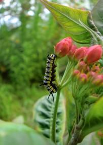 afrikanischer-monarchfalter-monarca-africana-danaus-chrysippus-la-palma-raupe