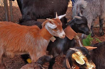 granja-los-tumbitos-cabritos-san-antonio-del-monte