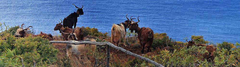 Palmerischer Käse – Queso de Cabra - La Palma Travel