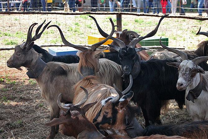 ziegenkaese-ziegen-cabras-goats-cheese-la-palma-canarias