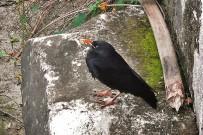 alpenkraehe-graja-pyrrhocorax-pyrrhocorax-jungvogel-la-palma
