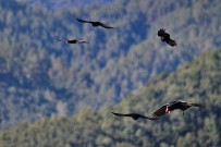 alpenkraehe-graja-pyrrhocorax-pyrrhocorax-vogel-gruppe-la-palma