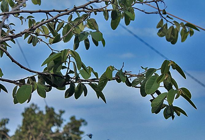 Cherimoya la palma travel - Baum auf spanisch ...