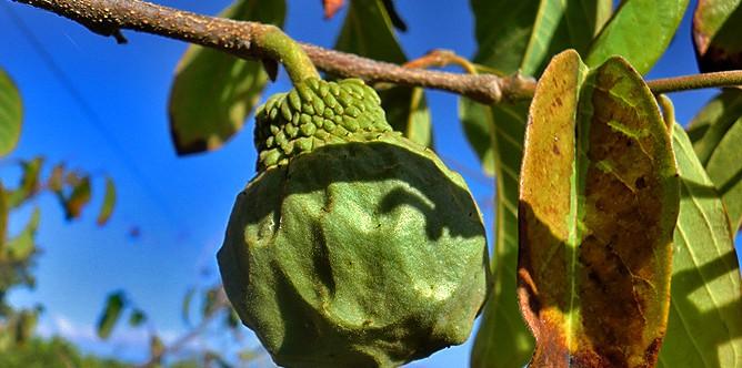 cherimoya-annona-cherimola-frucht-la-palma