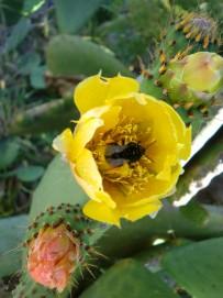 feigenkaktus-tunera-opuntia-ficus-indica-la-palma-bluete-gelb